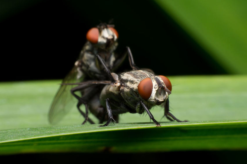 Couple Animal Themes Animals In The Wild Fly Insect Grass Green Color Insect Leaf Macro Mating Flies Nature No People One Animal Photography Selective Focus Two Animals