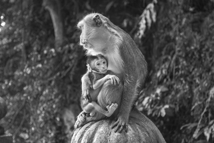 Mother protects her son from attackers Animal Themes Animals In The Wild Baby Blackandwhite Care Close-up Day Family Focus On Foreground Kids Life Love Mammal Monkey Monkeys Mother Motherhood Nature Orangutan Outdoors People Primate Tail Tree Young Animal