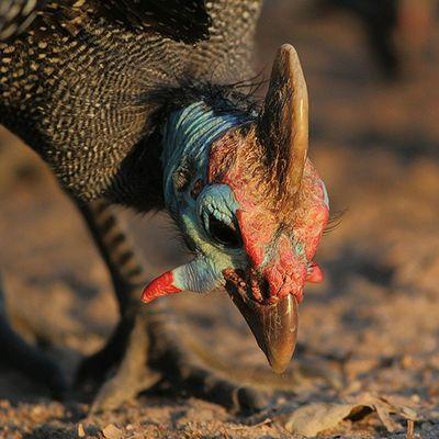 Helmeted Guinea fowl. Africanamazing Natureaddict Animalsaddict Squaredroid @Animals Wildlife Igersmp Africa Naturelover_gr