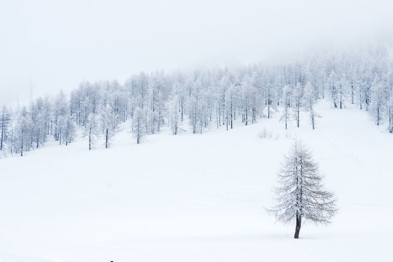alberi innevati Piemonte Landscape Pini Alberi Sestriere Neve Paesaggio Landscape Tree Snowing Snowflake Mountain Snow Spruce Tree Cold Temperature Winter Forest Polar Climate Pine Woodland Frost Foggy Weather Condition Pine Tree