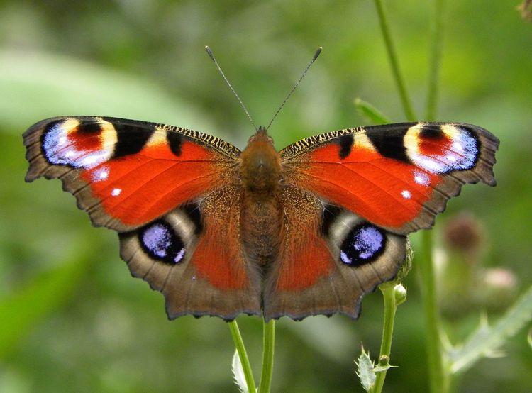 Eye Em Nature Lover Butterflys Peacockbutterfly Beautiful Nature