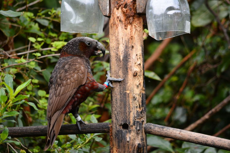 Native Birds New Zealand Kaka North Island Kaka Wildlife Photography Zealandia Kaka Parrot Large Parrots Nature Ornithology  Parrots Parrots On Tree Wildlife