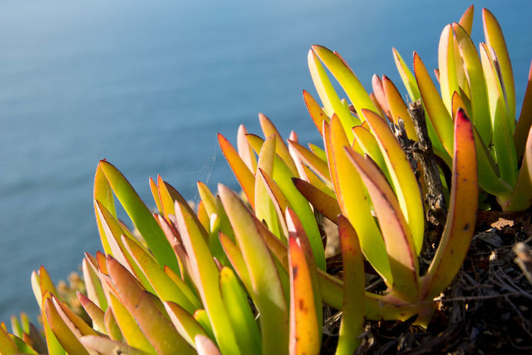 Cabo Da Roca. Sintra Golden Hour Sunset Yellow Color Edge Of The World Ocean Evening Sunny Day Flower Plant Close-up Oceanside