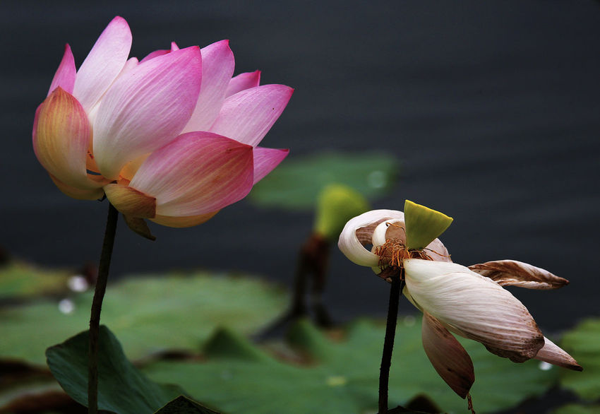 Beauty In Nature Close-up Flower Flower Head Flowering Plant Focus On Foreground Fragility Freshness Growth Inflorescence Leaf Lily Lotus Water Lily Nature No People Petal Pink Color Plant Plant Stem Vulnerability