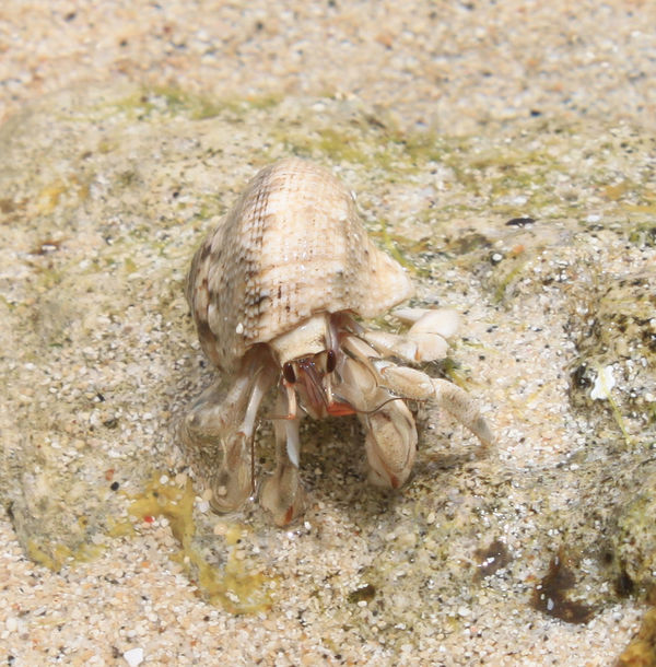 Animal Shell Animal Themes Animal Wildlife Animals In The Wild Beach Close Up Close-up Crab Crustacean Day Hermit Hermit Crab High Angle View Nature No People One Animal Outdoors Sand Sea Life