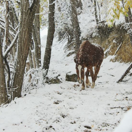 carry on My Horse Haflinger Carry On Horse Frozen Walking EyeEm Selects One Animal Snow Animal Themes Winter Cold Temperature Nature Mammal Tree Domestic Animals No People Day Outdoors Shades Of Winter