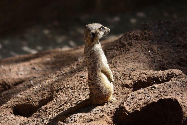 Meerkat Sitting Outside Animal Themes Animal Wildlife Fur One Animal Sunbading