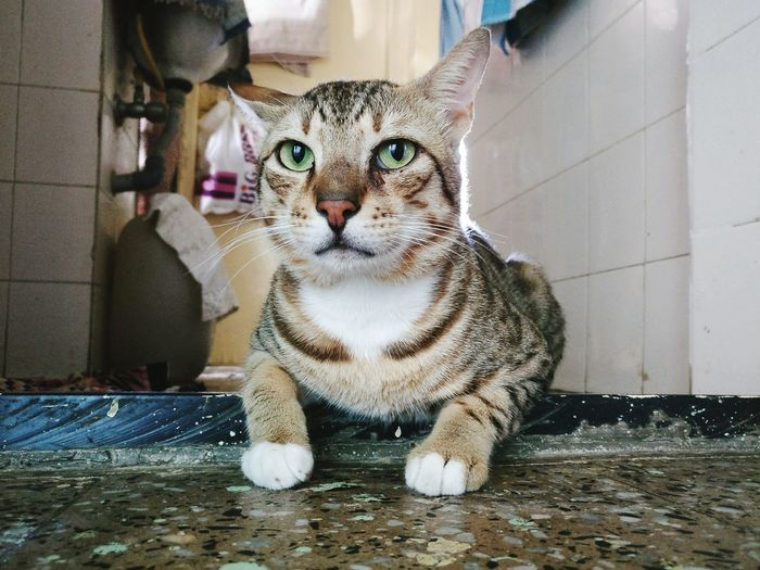Maximus Pets Domestic Cat Furbaby Feline Day TabbyCat Love ♥ Greeneyes No People Looking At Camera CatLadyForlife