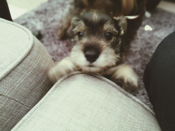 Monty 8 weeks old miniature schnauzer Dog First Eyeem Photo
