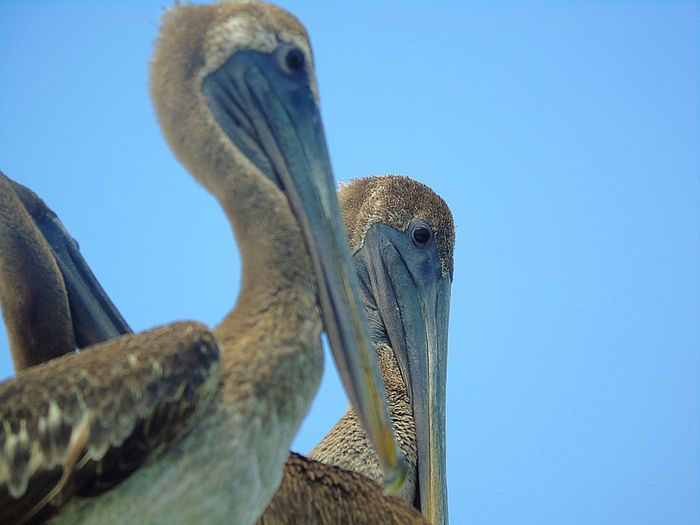 Low angle view of pelican against clear blue sky