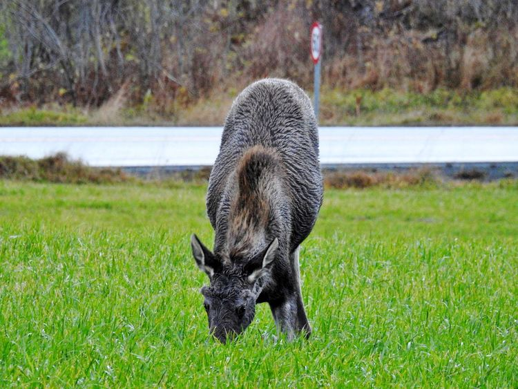 Elk Moose Moose! Norway Wildlife Photography Animal Photography Animal Themes Animal Wildlife Animals In The Wild Day Domestic Animals Elks Field Focus On Foreground Full Length Grass Mammal Nature No People One Animal Outdoors Wildlife