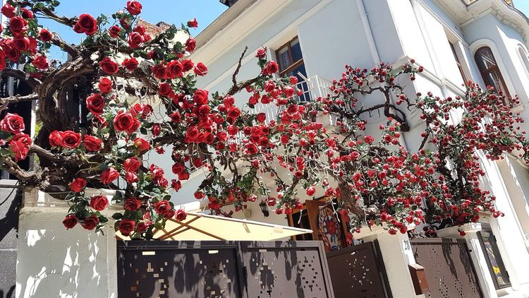 Spring rose tree Restorant Sunny Garden Springtime Spring Is In The Air Spring Spring Break Springsunnyday Red Red Flower Rose - Flower Roses Red Roses Hanging Red Architecture Building Exterior Sky Built Structure