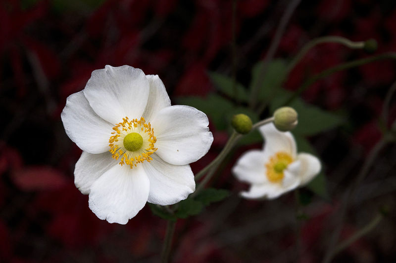 Anemone Honorine Jobert Autumn Anemone Anemone Flower Beauty In Nature Blooming Blossom Close-up Day Flower Flower Head Focus On Foreground Fragility Freshness Garden Growth Hibiscus Nature No People Outdoors Petal Plant Pollen Springtime Stamen White Color