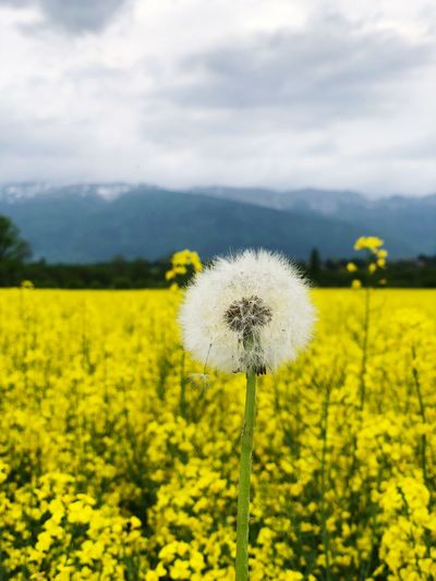 Standing strong Flower Plant Flowering Plant Yellow Beauty In Nature Growth Fragility Freshness Vulnerability  Field Cloud - Sky Sky Land Nature Landscape Flower Head Tranquility Environment Day Dandelion