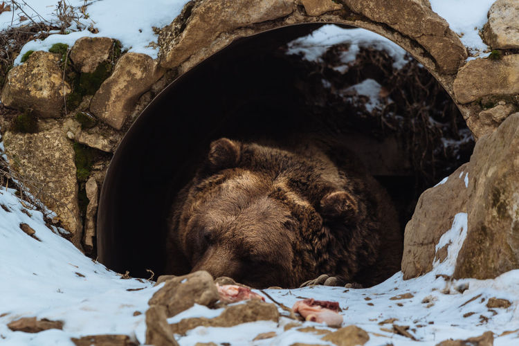 Brown bear sleeping Ursus Arctos Bear Animal Nature Cave Resting Wildlife Mammal Sleeping Predator Laziness Sleepy Grizzly Bear Dangerous Animals Brown Bear Animals In The Wild