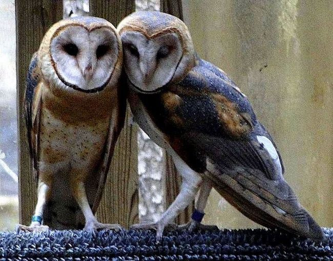 Barn Owls Captive Owl Owl Rescue Raptor Rescue Barn Owl Barn Owl; Captured Owl Heart-shaped Owl Photography Owls Owls Are Cute Raptor Rehab Tyto Alba