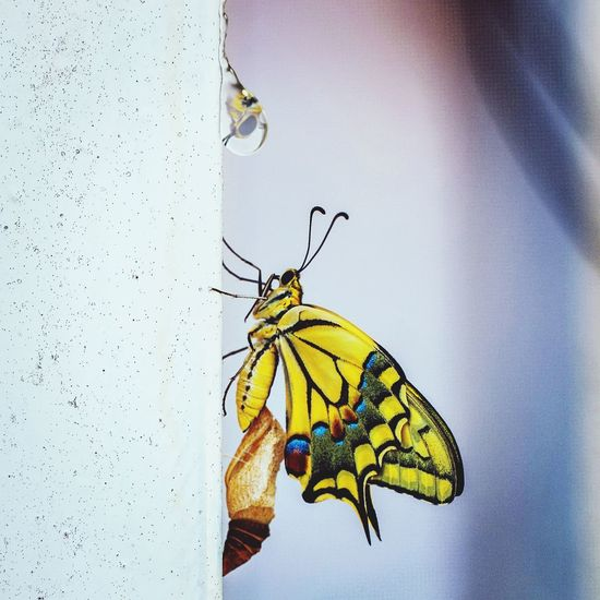 Butterfly leaving the cocoon for source of life :) Butterfly Cacoon Waterdrop Water Metamorphosis One Animal Butterfly - Insect Focus On Foreground Multi Colored Zoology Close-up First Eyeem Photo