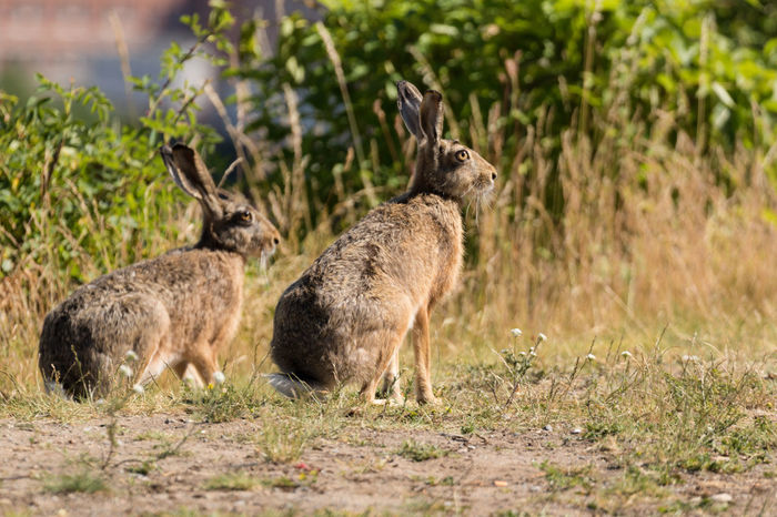 Hares or wild rabbits in the city of Stockholm Animal Wildlife Buildings In Background City Full Length Hare Mammal No People Outdoors Rabbit Side View Wild Animals In The City