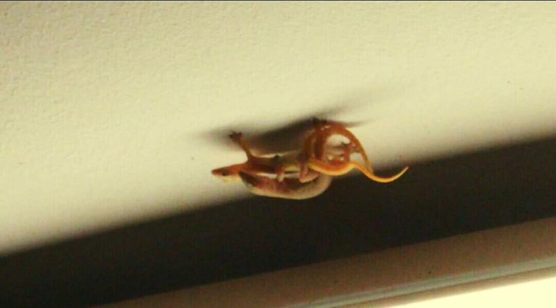 Having a sweet time Indoors  Close-up Lizards Nature Makinglove SweetTime