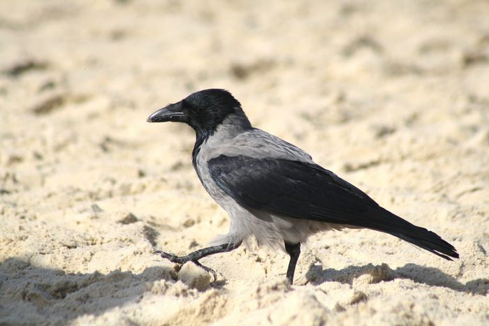 Searching for meaning of life Beach Bird No People Sand Outdoors Canon Israel Canonphotography Ashkelon Hi! ворона ворона Searching For Meaning Crow Black EyeEm Nature Lover Eyeemphotography Snap a Stranger My Year My View Sommergefühle
