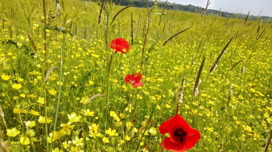 Printemps à Sainte Radegonde Balade Champ Tranquility Landscape Landscape_photography Landscape_Collection Countryside Country Campagne Field France Spring Springtime Aveyron Nopeople Plants 🌱 Plants And Flowers Plant Photography Plant Poppy Poppy Flowers Coquelicot Bouton D'or