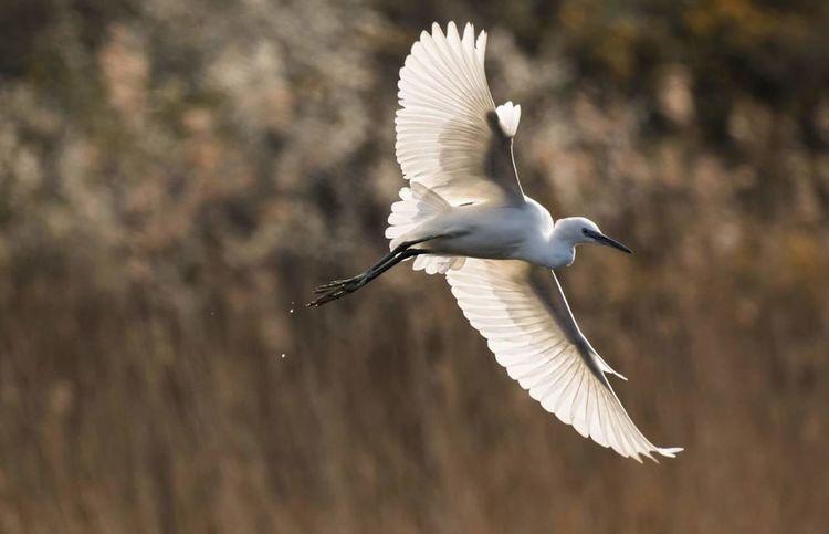 Flyingbird Bird Animal Wildlife Animal Wing Flying Spread Wings One Animal Animals In The Wild Outdoors