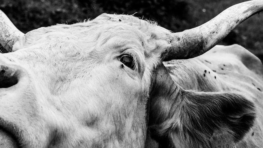 Beauty In Nature Blackandwhite Monochrome Alps Alpen EyeEm Nature Lover Vorarlberg  Animal Animal Themes Cow Cattle Eye Close-up Rhinoceros Animal Skin African Elephant Safari Animals Horned