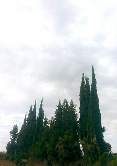 Servi Selvi Cupressus Cypress Trees  Cypress Köy Plantography