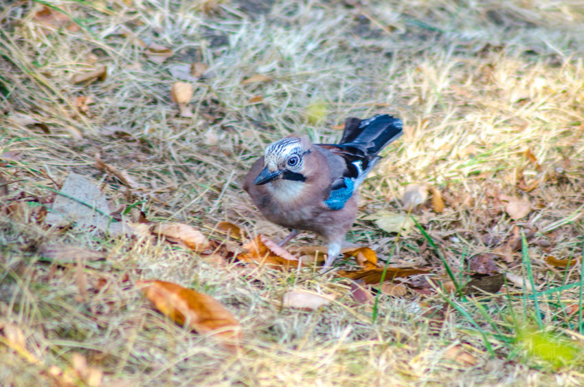 Eurasian jay Animal Animal Themes Animal Wildlife One Animal Animals In The Wild Vertebrate Bird Plant Nature Day No People Selective Focus Grass Land Field Mammal Close-up Outdoors Young Animal Full Length Animal Head  Wildlife Photography