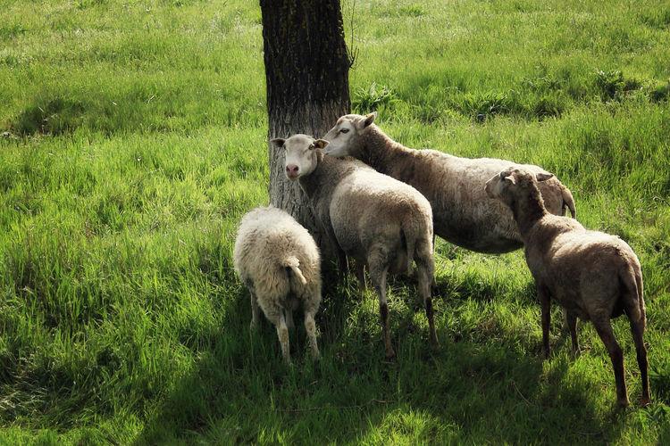 Animals Grass Meadow Nature Sheep Sheeps Pet Portraits