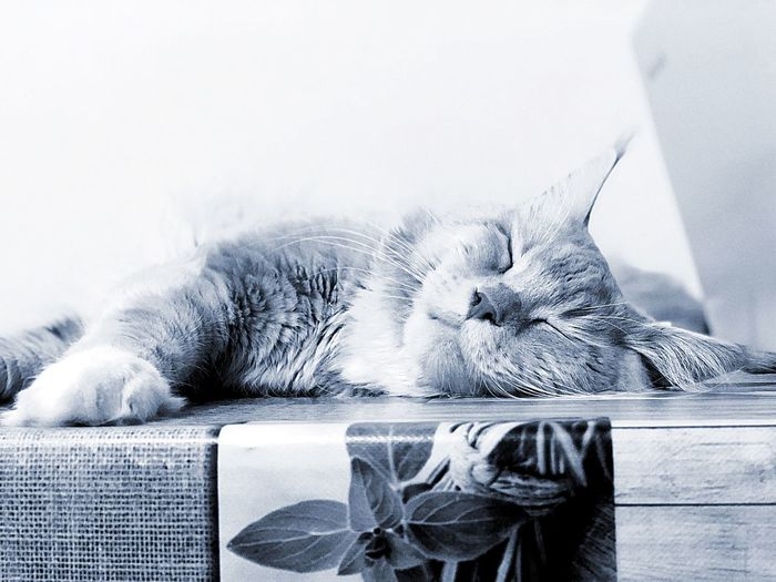 😴🦁 Like Followme Cats Gatto Mainecoon Indoors  Water Close-up Nature No People Cat Home Interior Domestic Cat Feline Pets Domestic