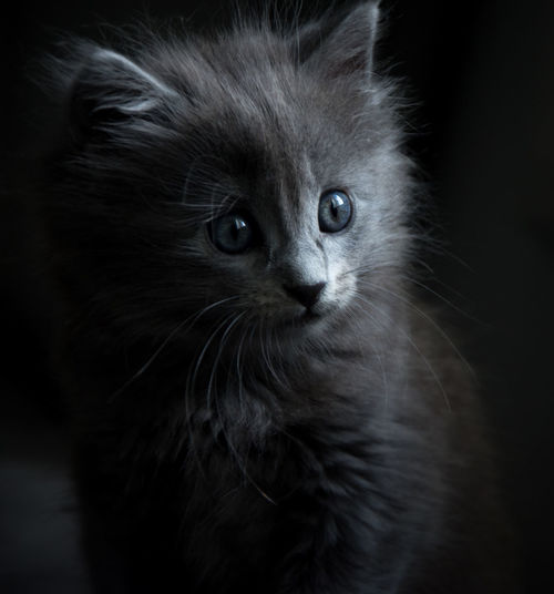 Animal Themes Black Background Close-up Day Domestic Animals Domestic Cat Feline Indoors  Mammal No People One Animal Pets Portrait