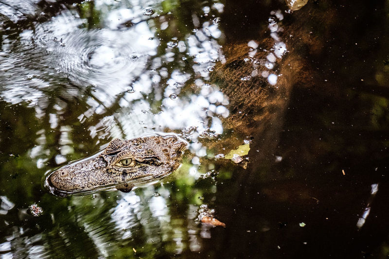 Costa Rica Viejo Aligator Animal Themes Animals In The Wild Brown Caiman Central America Costa Rica Crocodile Fujifilm FUJIFILM X-T1 Fujifilm_xseries Green Nature One Animal Pond Rainforest Reflection Reflections In The Water Reptile Standing Water Swimming Trees Water Wildlife Zoology