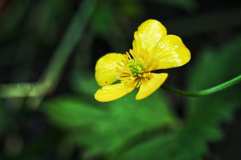 Close-up of buttercup flower blooming outdoors