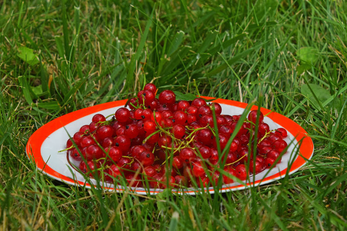 Rustic plate of fresh mellow red currant in green grass Abundance Berries Close-up Currant Food Garden Grass Green Grass Healthy Eating Juicy Mellow Nature Organic Outdoors Plate Red Red Currant Redcurrant Ripe Rural Scene Season  Summer Summertime Vitamins