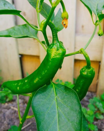 Gardening Peppers Italian Roaster Grow Your Own Grow Your Own Food Check This Out In My Garden