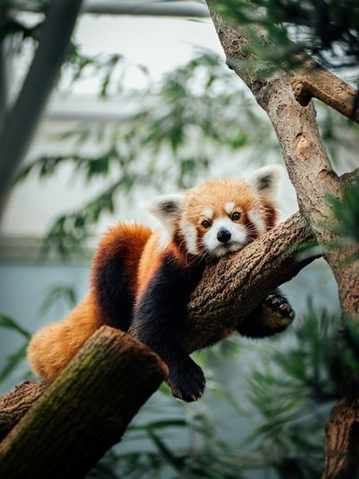 My favorite animal, screw the giant pandas! Redpanda Cuteanimal Cute Animals Zoo Animalportrait M43 Microfourthirds Chilling