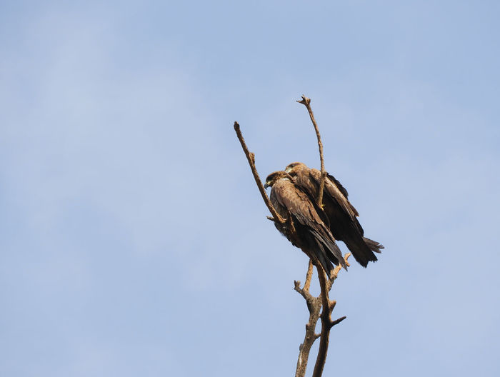 Low angle view of eagles perching on branch against sky