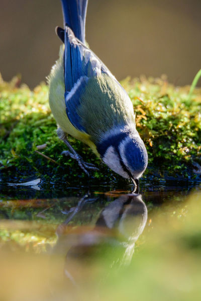 a bluetit drinks Bird Photography Bird Photograpy Cinciarella Endearing Nature Nature Photography Reflection Water Reflections Animal Themes Animal Wildlife Animals In The Wild Beauty In Nature Bird Bird Drinking Water Bird Reflection Blue Tit Bluetit Bluetit Drinking Bluetit Feeding Close-up Nature One Animal Reflection Selective Focus Water