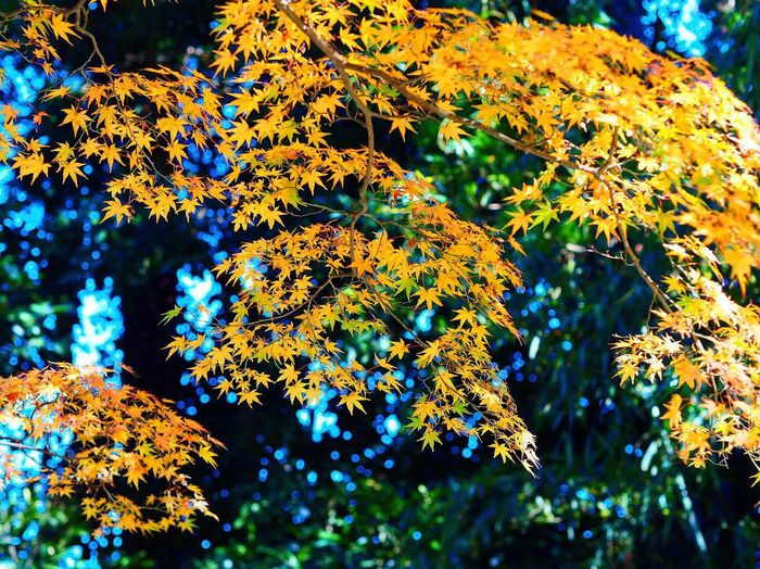 Nature Beauty In Nature Outdoors Day 東慶寺 Tokei Temple Tokeiji Blue Sky Kamakura Japan Kitakamakura Kamakura Colored Leaves Momiji Japanese Garden Olympus Om-d E-m10 Leaf Beauty In Nature Autumn Tree Nature Tamaboke 玉ボケ Yellow Leaves Yellow