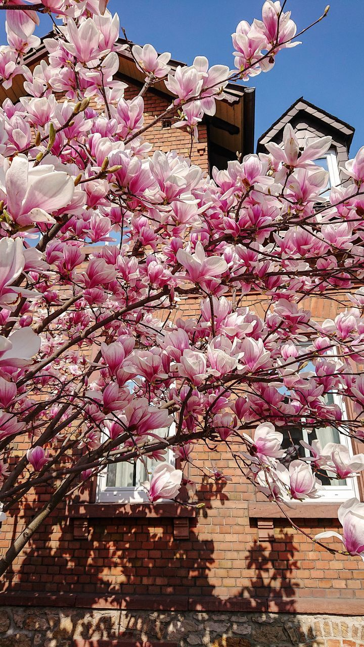 flower, flowering plant, plant, freshness, fragility, building exterior, pink color, architecture, built structure, vulnerability, blossom, tree, springtime, growth, nature, low angle view, building, day, beauty in nature, branch, no people, outdoors, cherry blossom, cherry tree, flower head