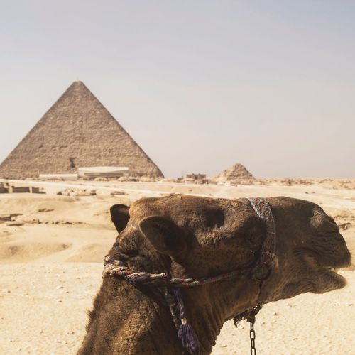 Camel Domestic Animals Sand Working Animal Pyramid Desert Animal Themes One Animal Mammal Clear Sky Outdoors Day Arid Climate Architecture Built Structure Sky Livestock Ancient Civilization Nature No People The Week On EyeEm