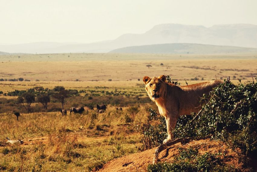A majestic lion staring at the camera @ Maasai Mara National Park. Hot Hot Day Sunny Animal Themes Animals In The Wild Day Landscape Lioness Majestic Mammal Mountain Nature No People One Animal Outdoors Plant Safari Animals Sky Tree Veld Warm
