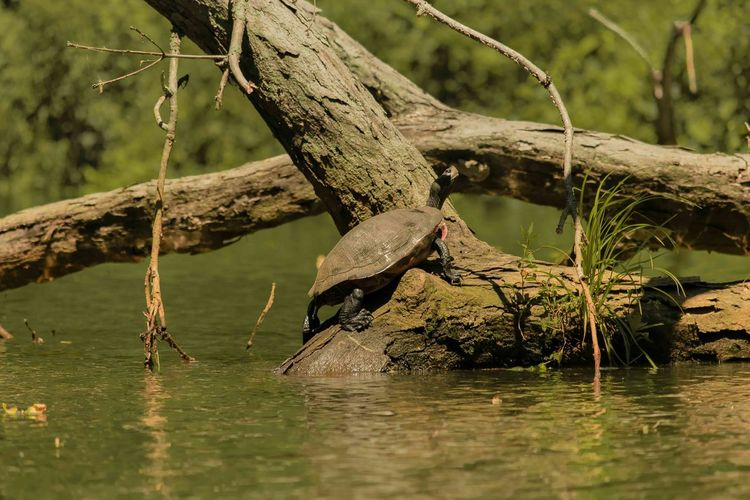 Animal Themes Animal Wildlife Animals In The Wild Bird Day Duhernal Lake Nature No People One Animal Outdoors Perching Reflection River South River Tree Turtle Water Waterfront Perspectives On Nature