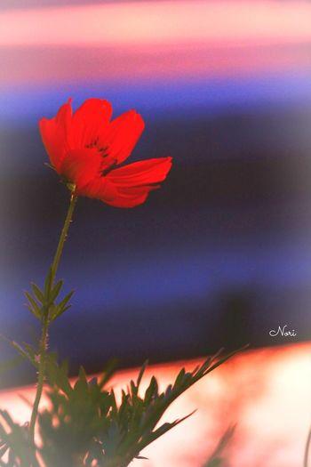 久しぶりに夕焼けがキレイだったから、道草しながら帰りました(^-^ゞ いつもだけど…f(^_^; 夕暮れふぇち Sunset Lovers Flower Riverside キバナコスモス 夏 Photo Sunset ボケ味ふぇち 黄昏ふぇち Atmosphere マーマレード色の空 楽しみ隊 Darkness And Light Kagoshima 乙女部 黄昏隊 (^-^ゞ
