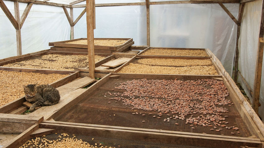 Drying of coffee beans, Sao Tome and Principe, Africa Africa Agriculture Cocoa Cocoa Beans Cocoa Plantation Day Drying Farm Food Food And Drink No People Plantation Rural Rural Scene Sao Tome Sao Tome And Principe Tourism Travel Travel Destinations West Africa