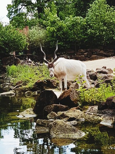 Reflection Animal Wildlife Water Mammal Antler Animals In The Wild Tree Nature One Animal Outdoors No People Animal Themes Day Stag Beauty In Nature Deutschland Hannover Zoo Sarah7790 Wind Instrument Addax Addaxantalope