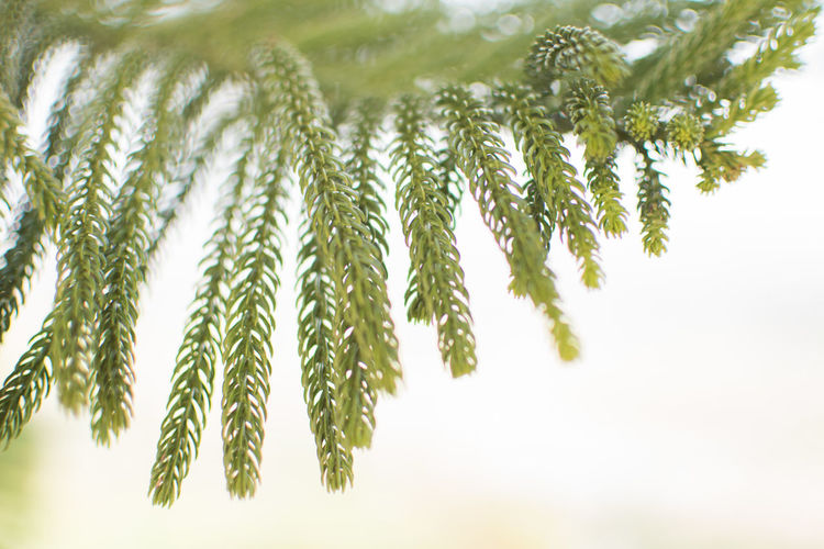 Plant Growth Green Color Tree Leaf No People Nature Close-up Plant Part Beauty In Nature Pine Tree Coniferous Tree Focus On Foreground Outdoors Day Branch Tranquility Needle - Plant Part Freshness Pinaceae Herb Fir Tree