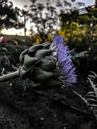 Flower Purple Nature Focus On Foreground Outdoors Close-up Beauty In Nature Flower HeadEyeEm Nature Lover EyeEm Thistle Ocfair OC Fair Ocfair2017 Oc Fairgrounds Ocfairgrounds OC Fair Ground EyeEm Best Shots Artichoke In Bloom Artichoke Flower Garden Photography Artichokes, Buying, Closeup, Eating, Farm, Farmer, Farmer's, Farmers, Food, Foods, Fresh, Green, Healthy, Lifestyle, Local, Market, Organic, Produce, Purple, Raw, Seasonal, Vegetable From My Point Of View Photograph EyeEm Gallery