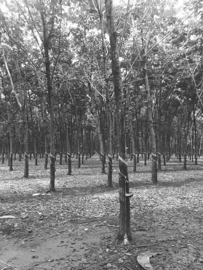 Rubber Tree Forest